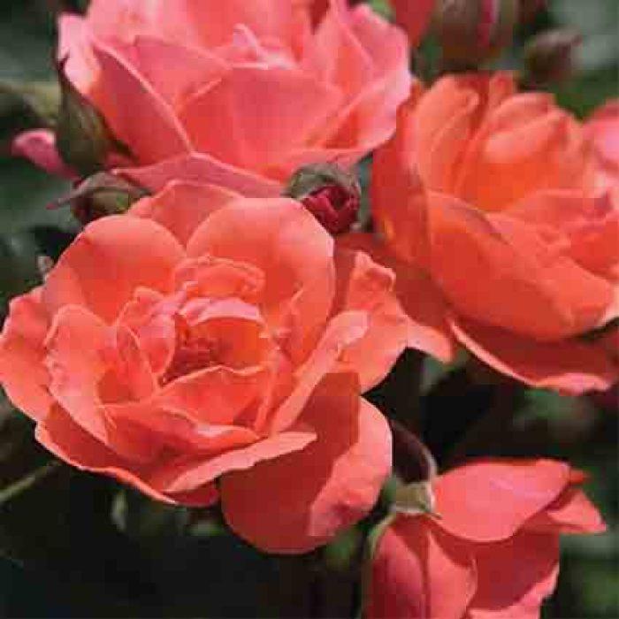 Coral Knockout Shrub Rose