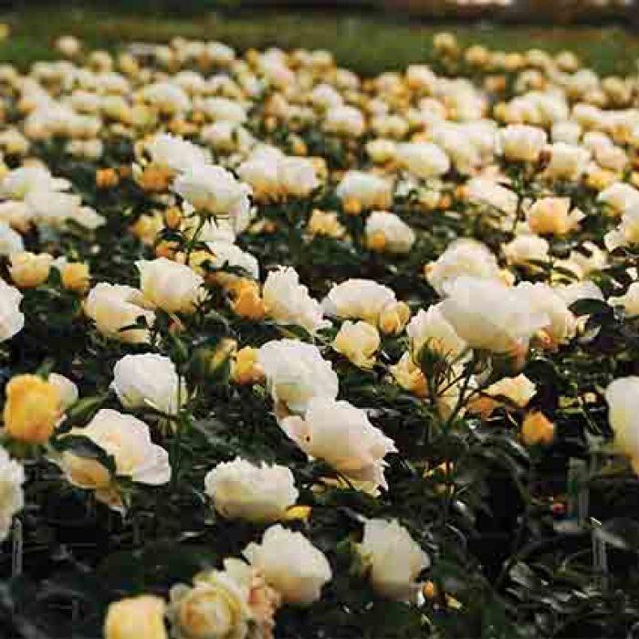 Popcorn Drift Groundcover Rose