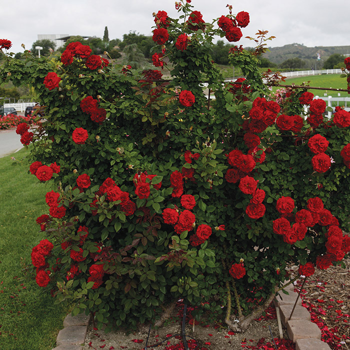 Lady In Red Climber Rose