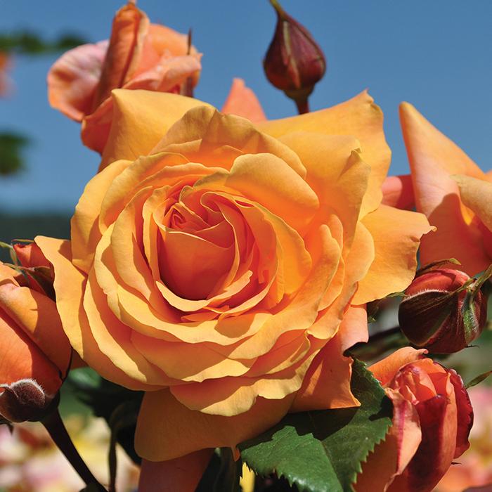 Tangerine Skies Climbing Rose