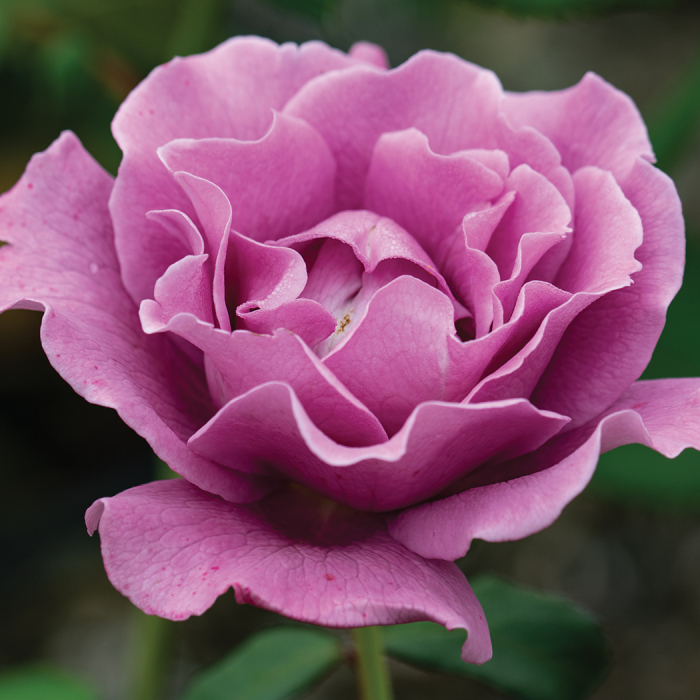 Angel Face Patio Tree Rose