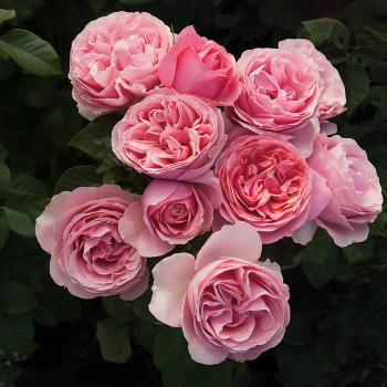All Dressed Up Grandiflora Rose