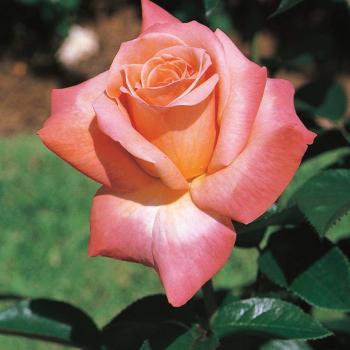 Arizona Grandiflora Rose