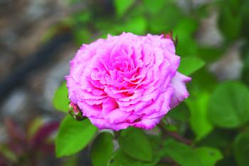 Beverly Hybrid Tea Rose