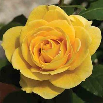 Ch-Ching Grandiflora Rose