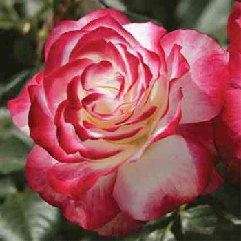 Cherry Parfait Grandiflora Rose