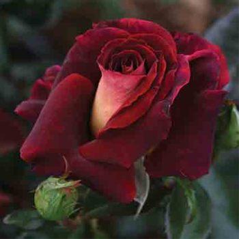 Dark Night Hybrid Tea Rose