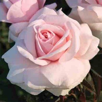 Meredith Hybrid Tea Rose