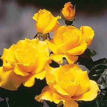 Midas Touch Hybrid Tea Rose