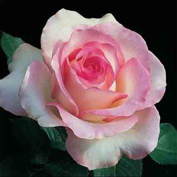 Moonstone Hybrid Tea Rose