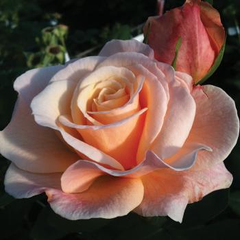 Oh Happy Day™ Hybrid Tea Rose