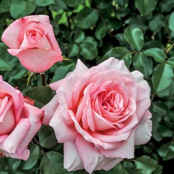 Savannah Hybrid Tea Rose