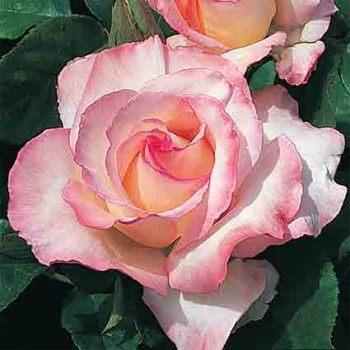 Secret Hybrid Tea Rose