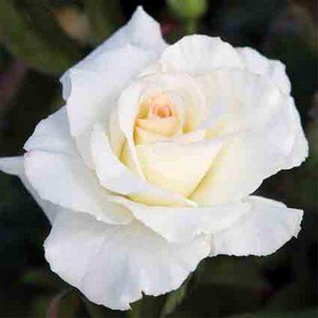 Secrets Out! Hybrid Tea Rose