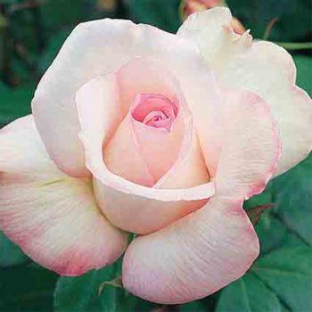 Sheer Bliss Hybrid Tea Rose