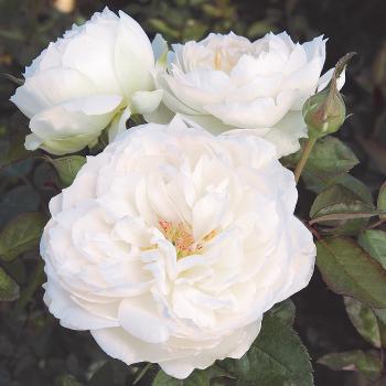 Bolero Floribunda Rose
