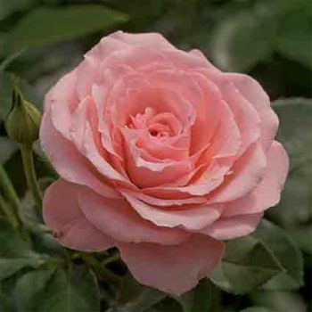 Sexy Rexy Floribunda Rose