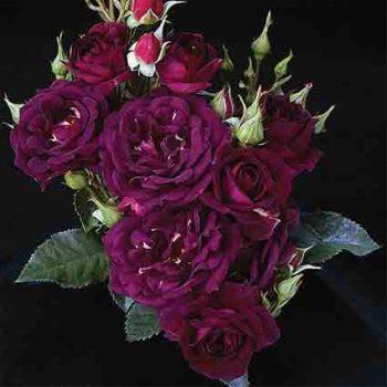 Midnight Blue Shrub Rose