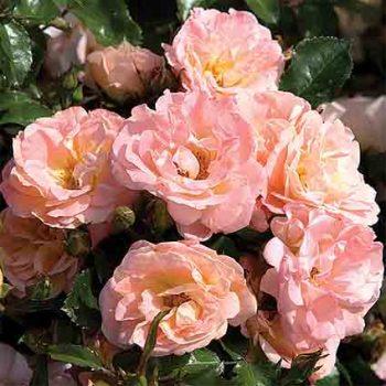 Peach Drift Groundcover Rose