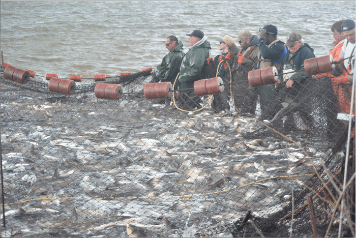 Fishing 1000s of pounds of Asian Carp from the Illinois River