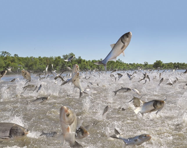 Asian Carp jumping from sound of passing boat
