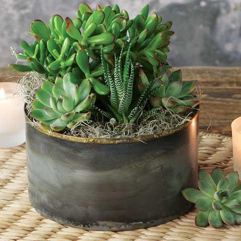 Zen Garden Succulent