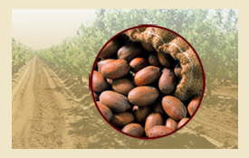 harvested-pecans