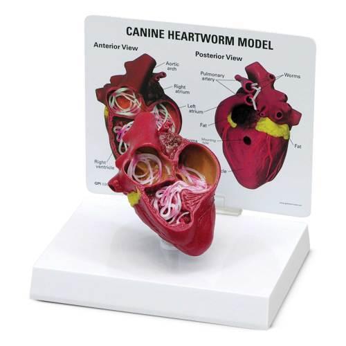 Model, heart