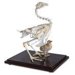 CHICKEN SKELETON WITH A CHICK,EA