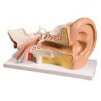 MODEL,SMALL EAR ,EA