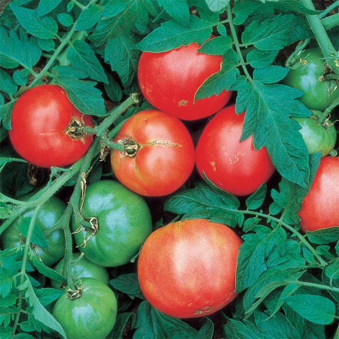 Arkansas Traveler Tomato