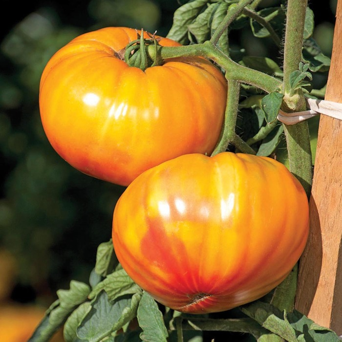 Buffalosun Hybrid Tomato