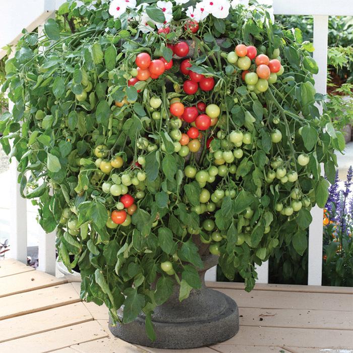 Cherry Fountain Tomato