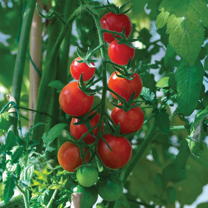 Ella Bella Hybrid Tomato