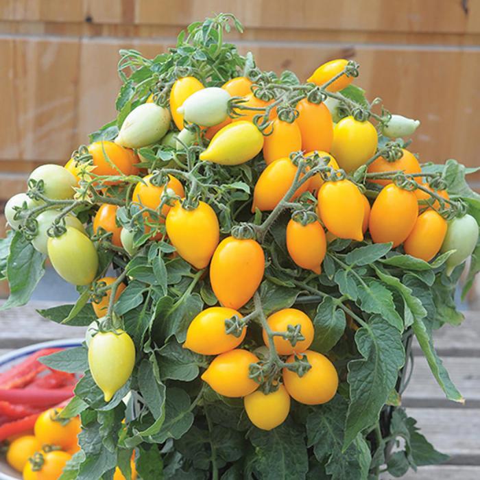 Funnyplums Orange Hybrid Tomato