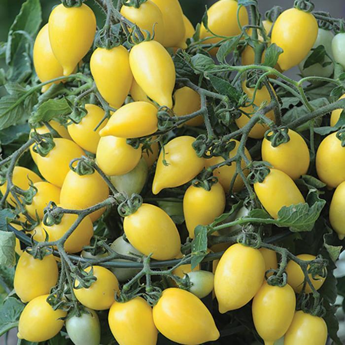 Funnyplums Creamy-Yellow Hyb Tomato