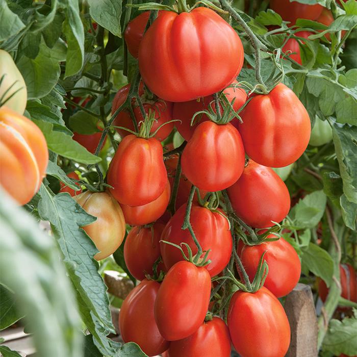 Giant Garden Paste Hybrid Tomato