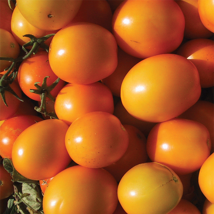 Golden Fresh Salsa Hybrid Tomato