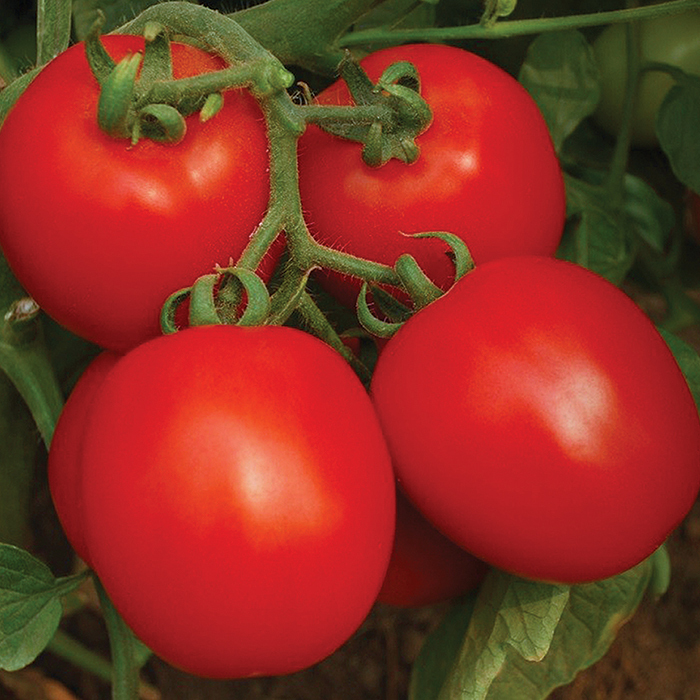 Invincible Hybrid Tomato
