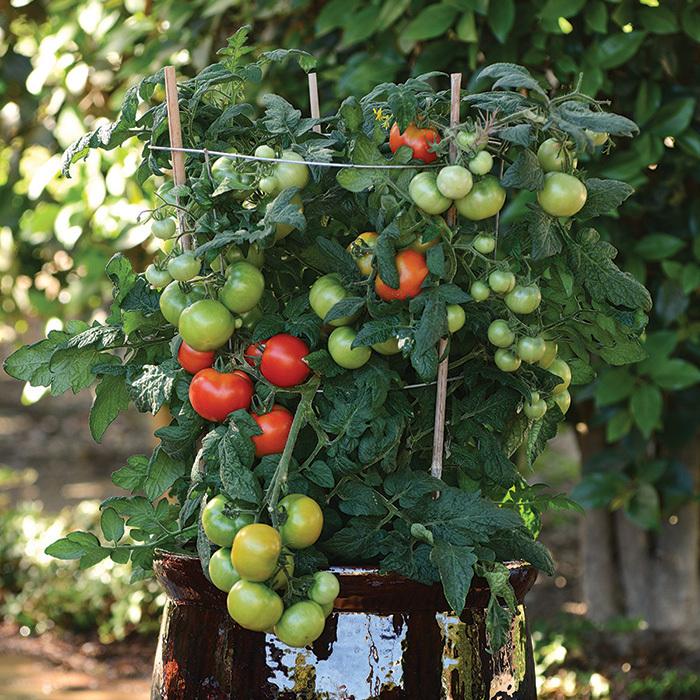 Little Sicily Hybrid Tomato