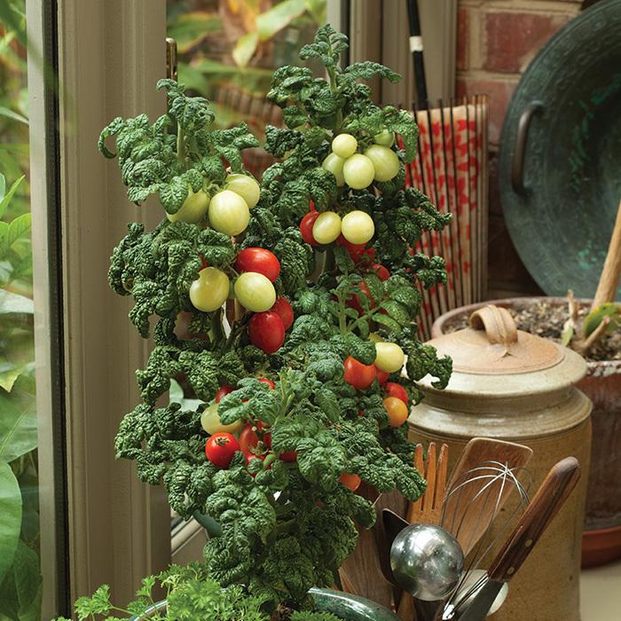 Patio Plum Tomato
