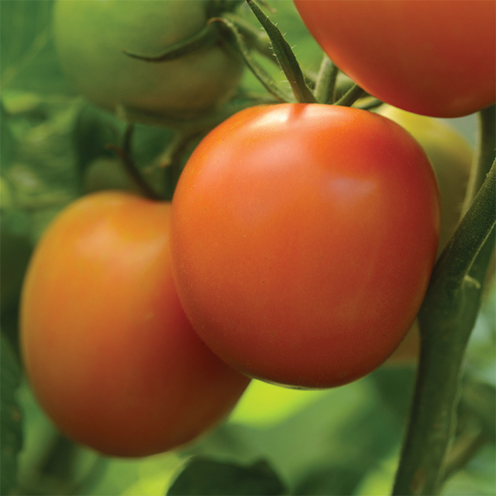 Heirloom Marriage Perfect Flame Hybrid Tomato