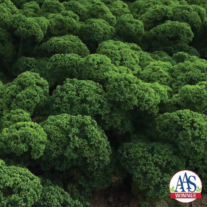 Prizm Hybrid (Baby Leaf) Kale