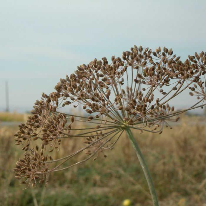 Dukat Dill Herb