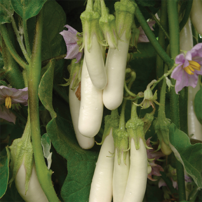Gretel Hybrid Eggplant