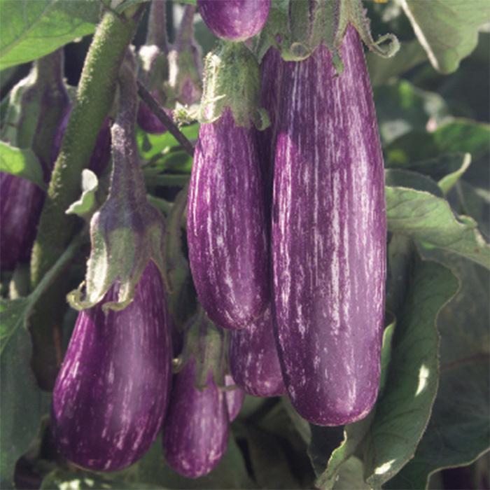 Fairy Tale Hybrid Eggplant