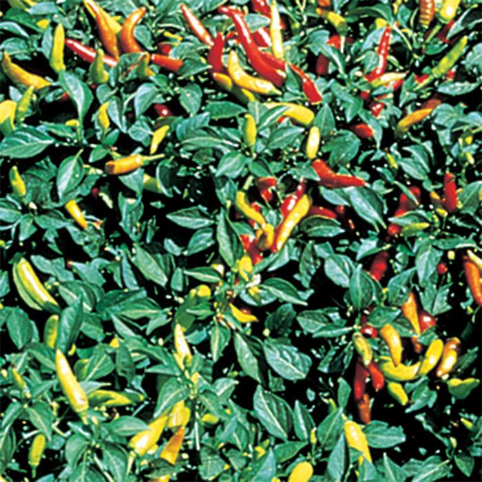 Super Chili Hybrid Serrano Pepper
