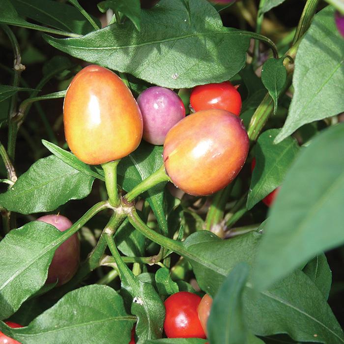 Purple Lava Pepper
