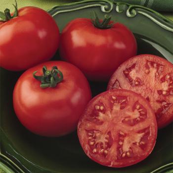 Bush Champion I I Hybrid Tomato