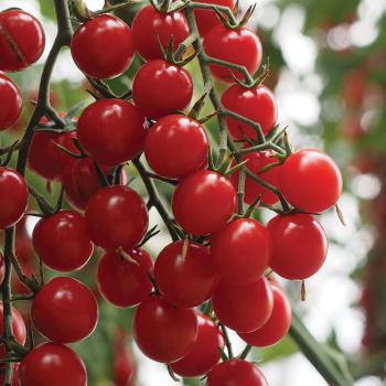Crokini Hybrid Tomato